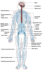 nerves
