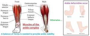 Ankle muscles balance of forces