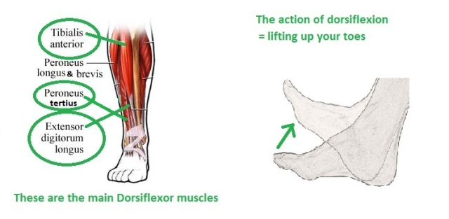 Foot drop muscles